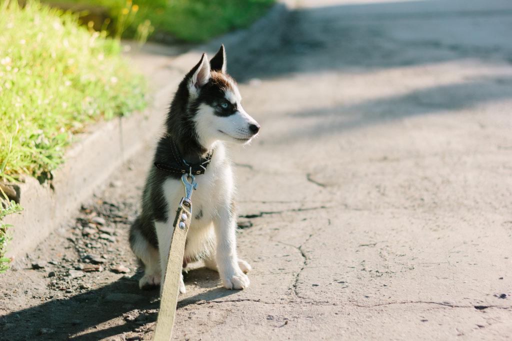 Ein Huskywelpe sitzt auf der Straße