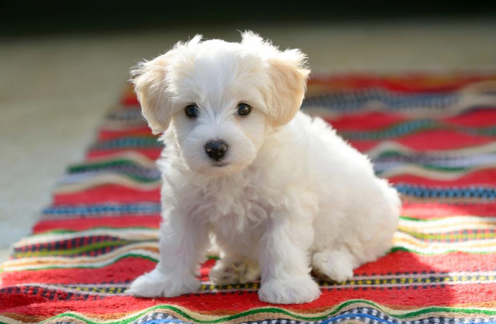 Ein Malteserwelpe sitzt auf einer Decke