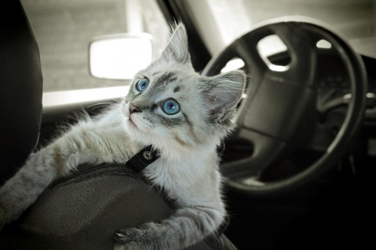 Mačka v avtu