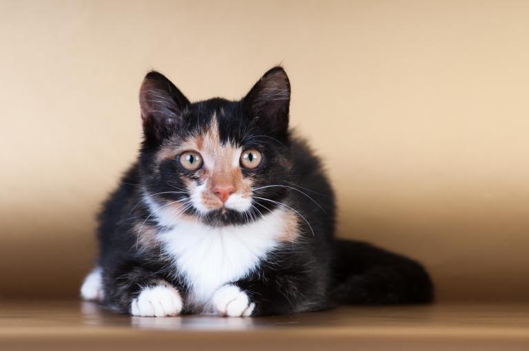 pasemska macka ali posvojitev macke