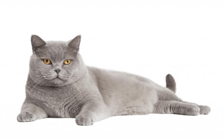 Pasemska mačka