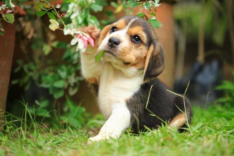 mladiček beagle