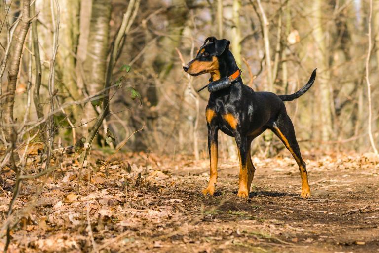 Nemški pinč v gozdu