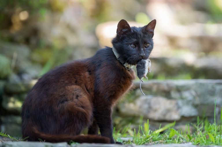 Mačka z mišjo