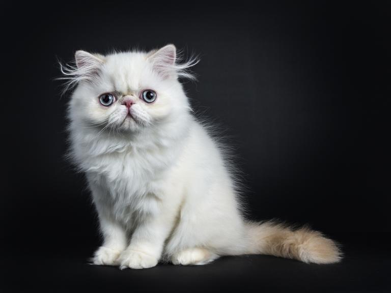 Perzijska mačka mladič
