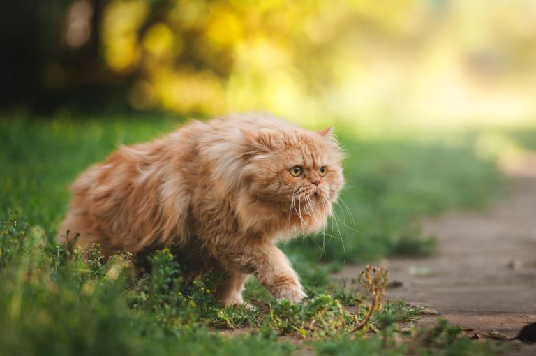 Perzijska mačka 1