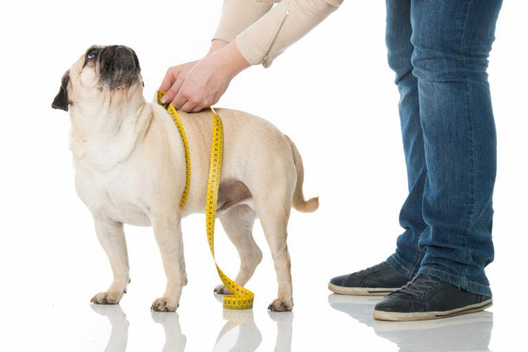 Prava hrana za psa pri prekomerni teži