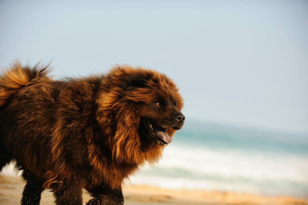 Chow-chow na plaži