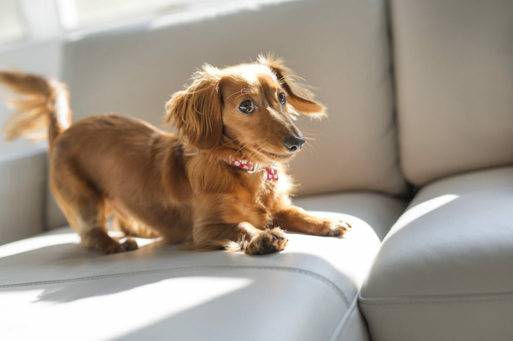 Jazbečar na kavču