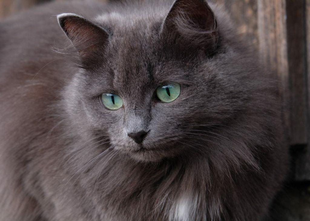 Mačka z diabetesom