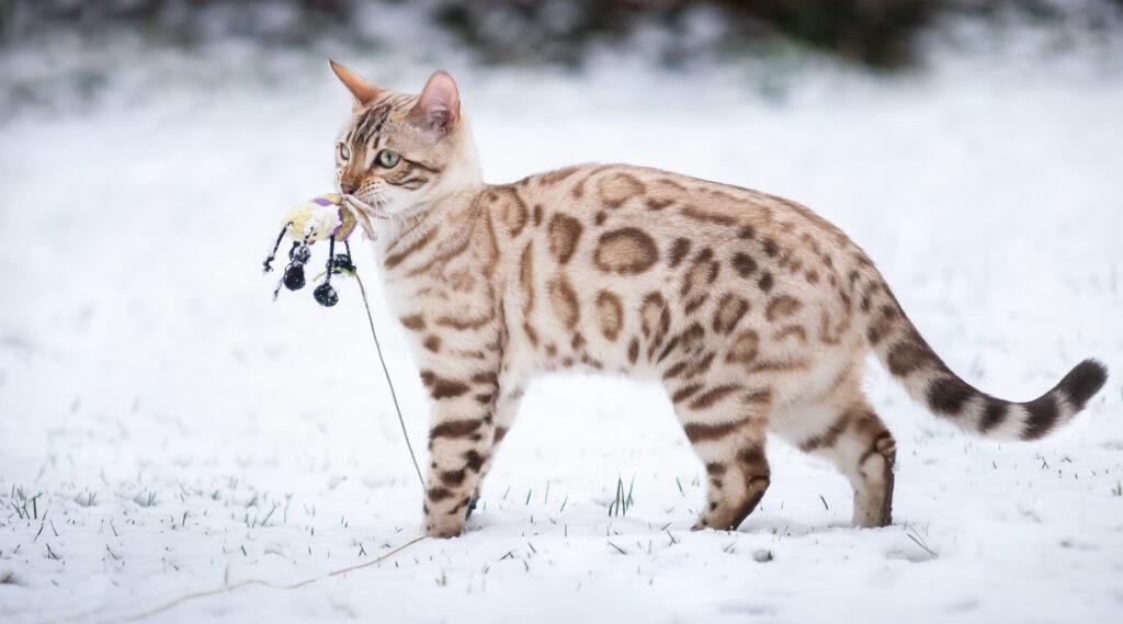 Bengalka v snegu