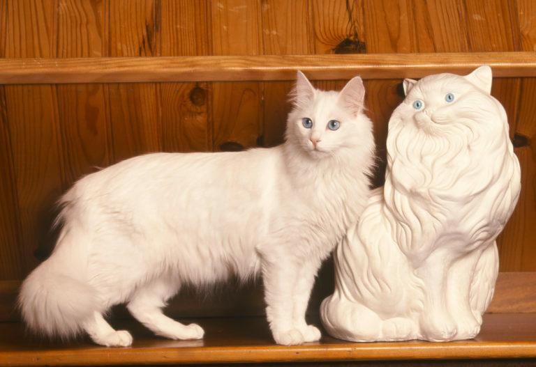 Turška angora mačka
