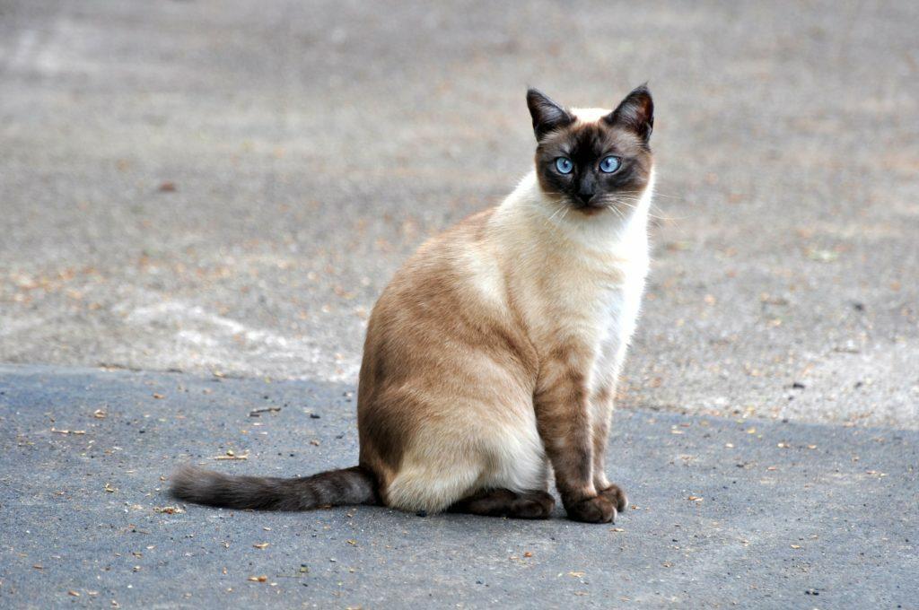 Siamska mačka