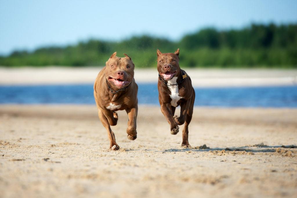Dva pit bulla