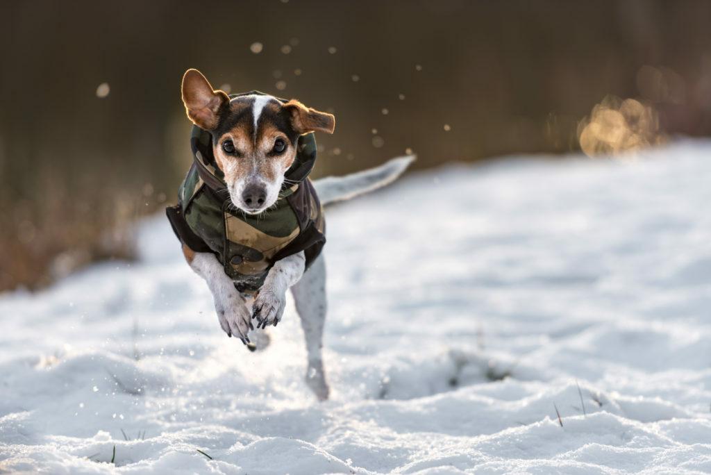 Pes skače po snegu