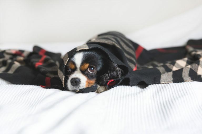 Podhladitev pri psih
