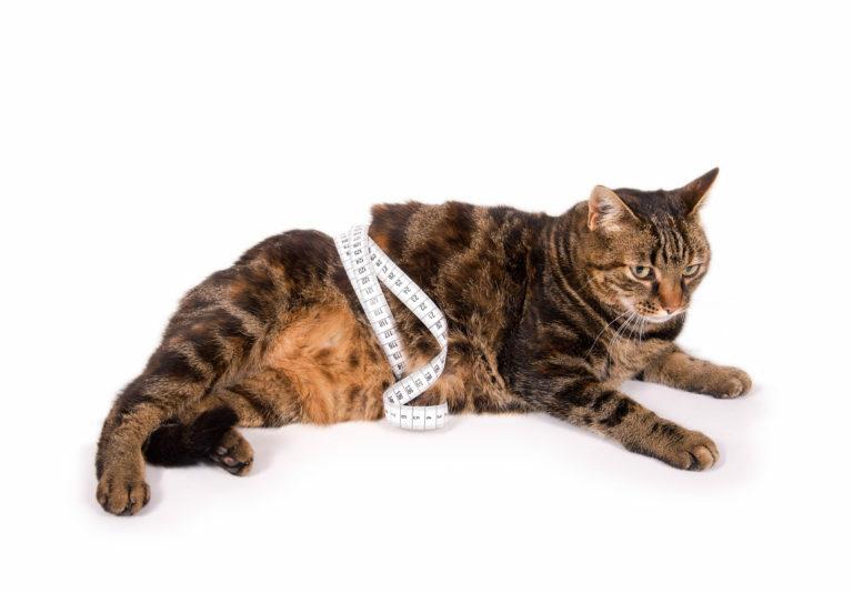 Je vaša mačka predebela?