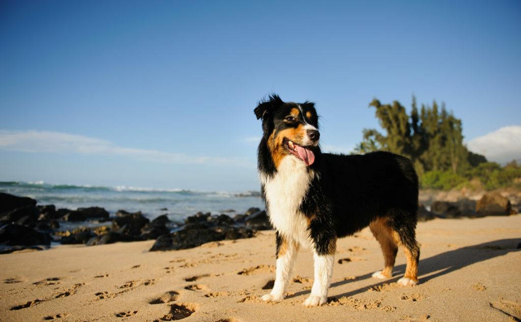 Avstralski ovčar na plaži
