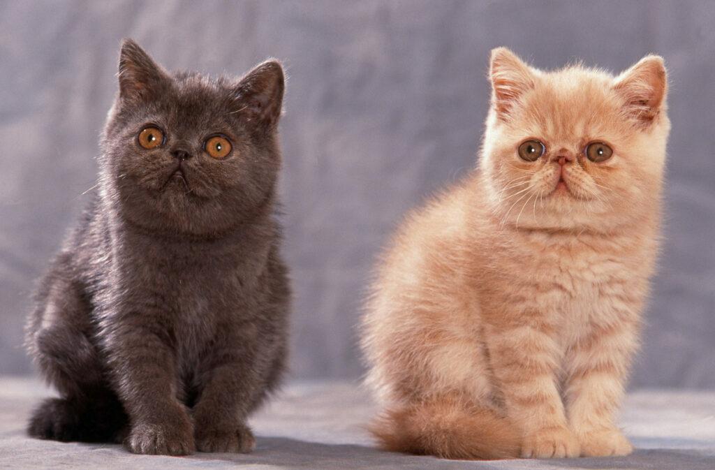 Eksotična kratkodlaka mačka