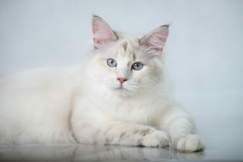 Bela sibirska mačka