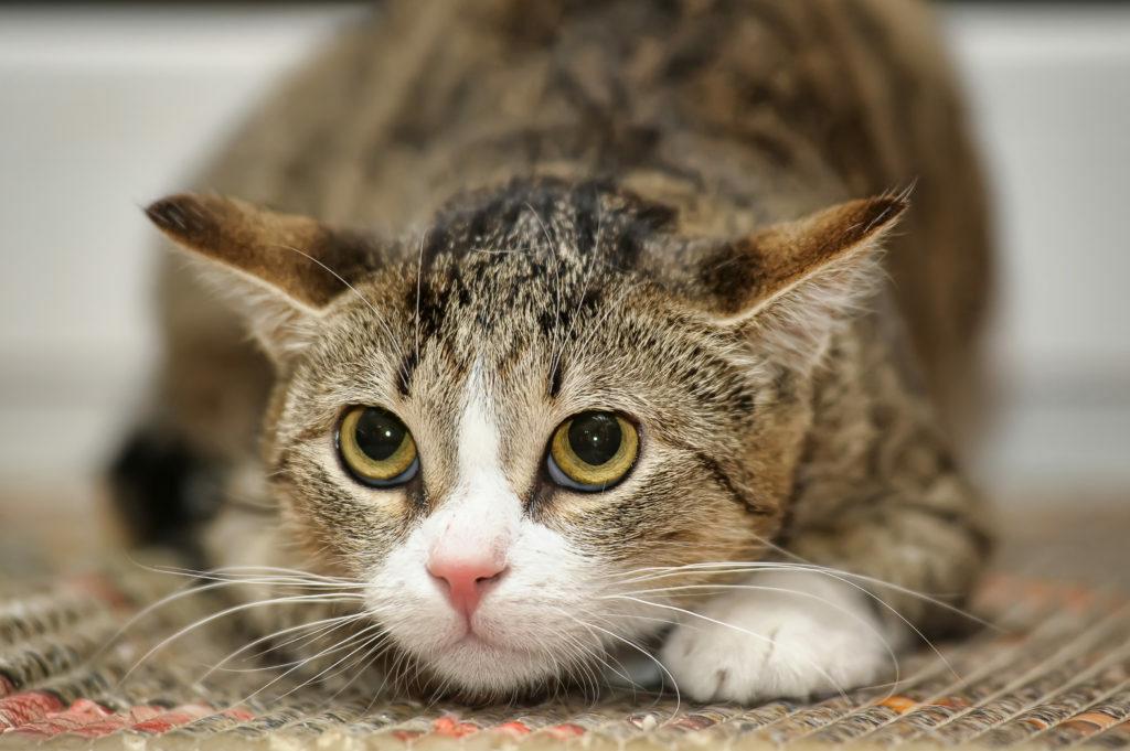 Prestrašena mačka