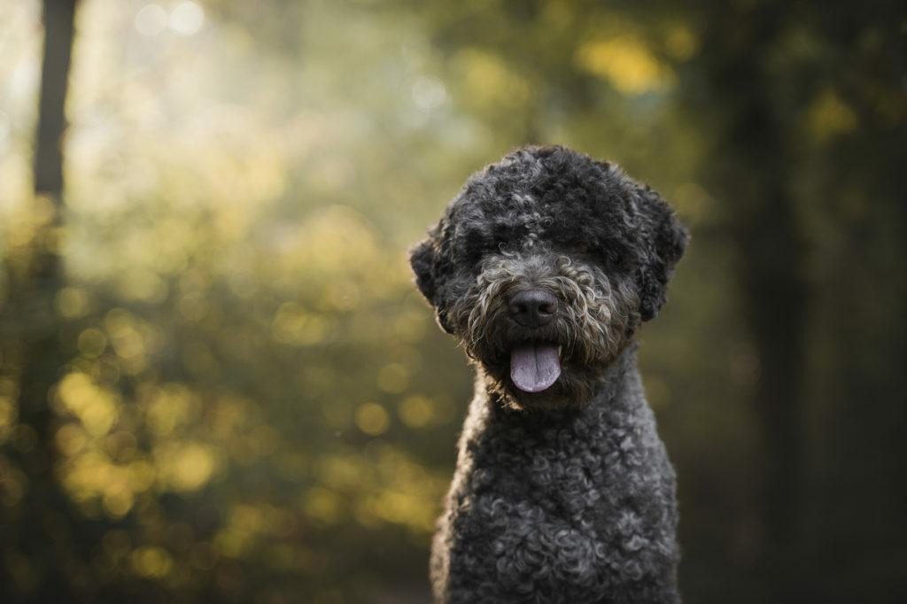 Romanski vodni pes