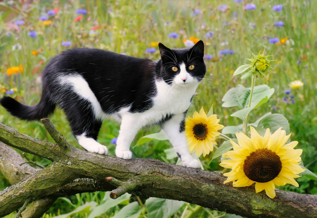 Evropska kratkodlaka mačka