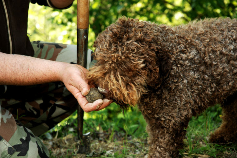 Psi za iskanje tartufov