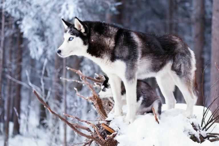 Sibirski husky