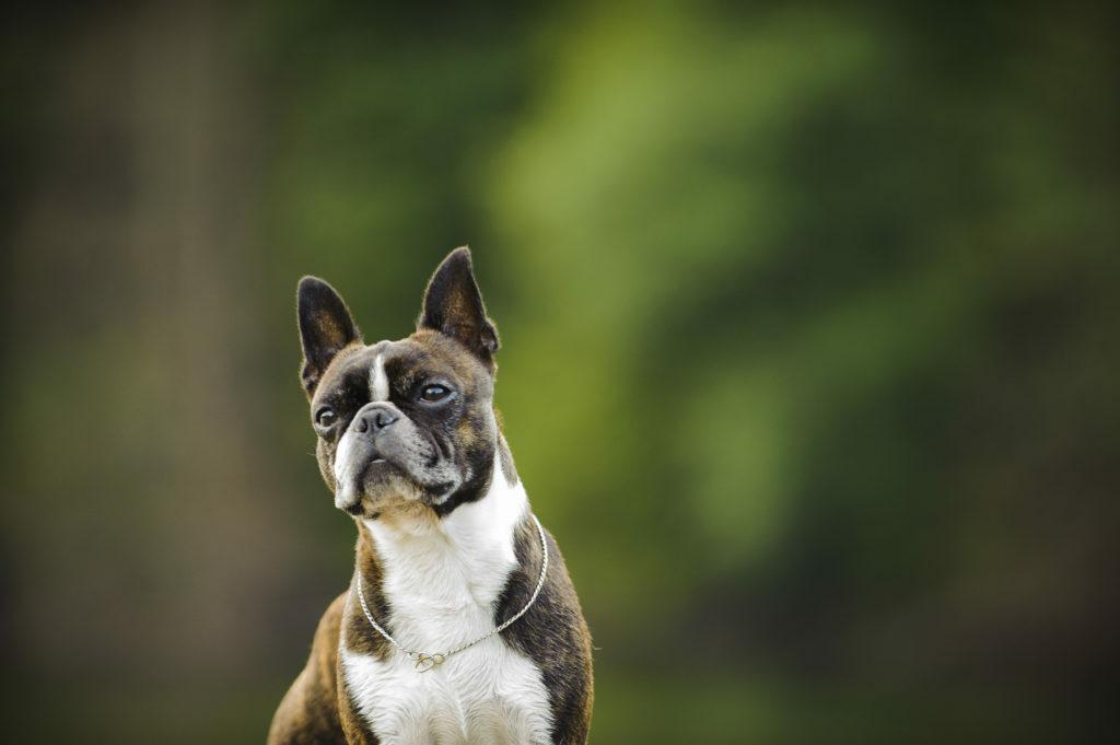 Bostonski terier