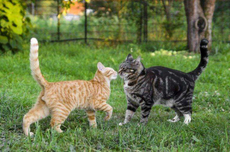 Življenje z različnimi pasmami mačk