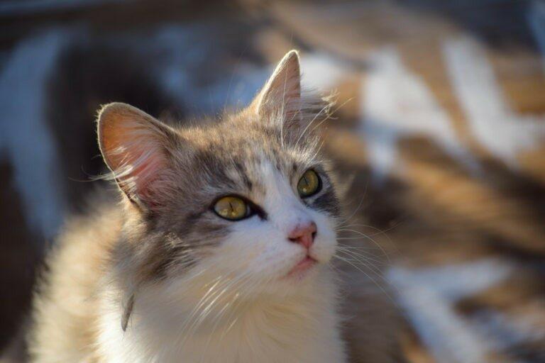 Kokosovo olje za mačke