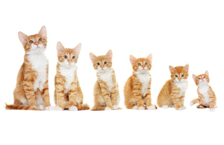 Faze odraščanja pri mački