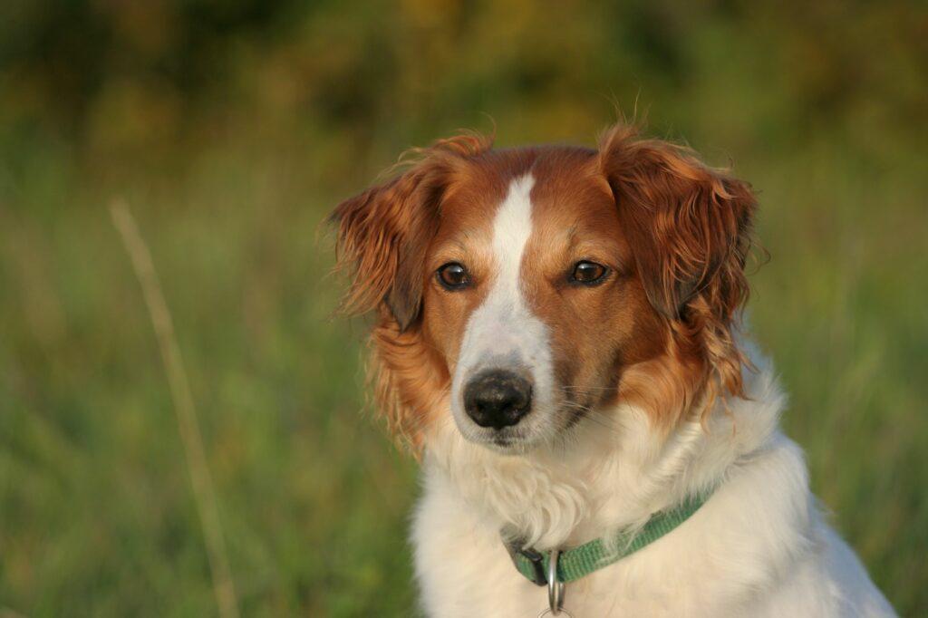 Hibridne pasme psov