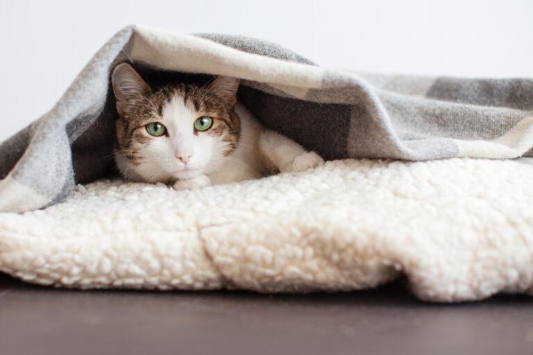 Prehlad pri mačkah
