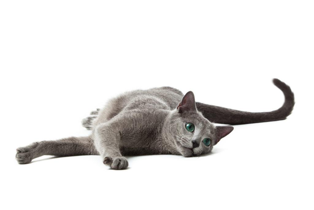 ruska modra mačka