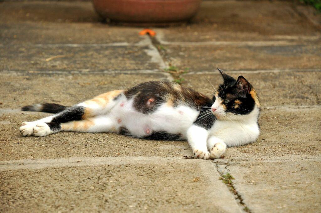 Brejost in porod pri mačkah, breja mačka na ploščicah