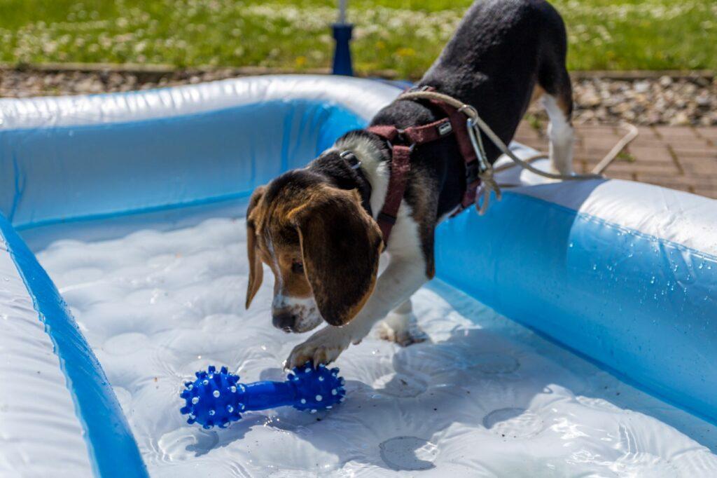 Socializacija pasjih mladičkov, pes v bazenu