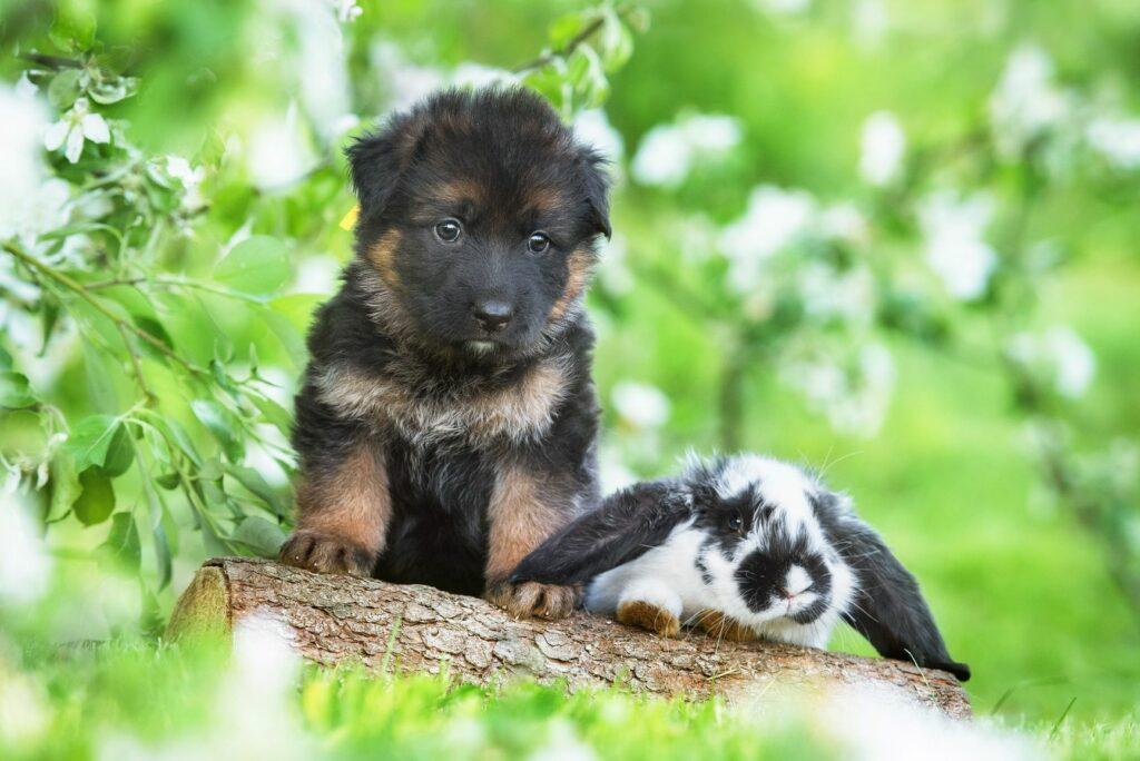 Socializacija pasjih mladičkov, pes in zajec