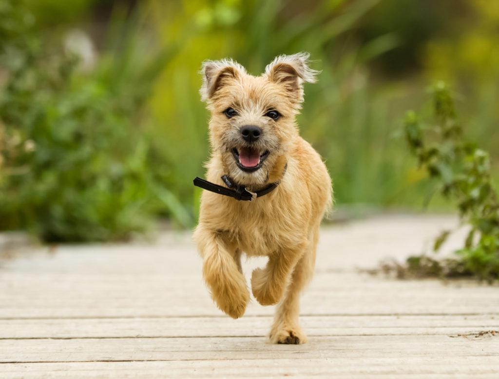 Cairnski terier beži