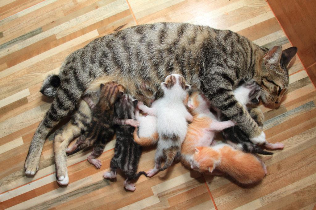 Brejost in porod pri mačkah, mladički sesajo