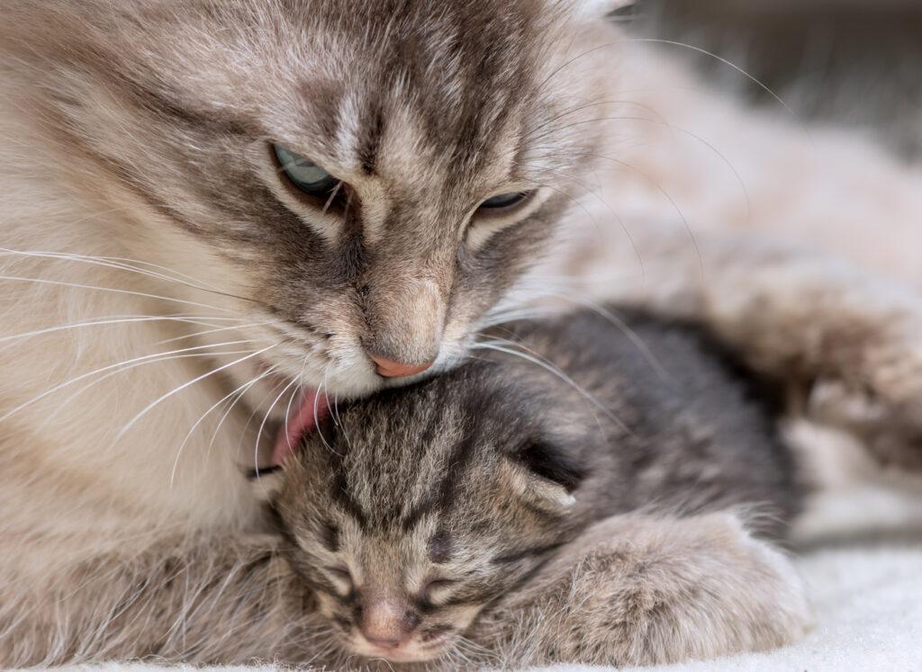 Brejost in porod pri mačkah, mama umiva mladička